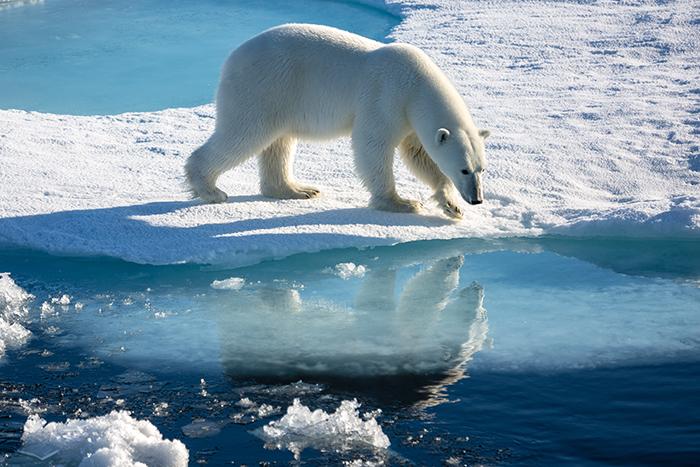 Ein Eisbär auf arktischem Meereis.  Eisbären sind ausschließlich in der Arktis verbreitet und zwar in der Polarregion rund um den Nordpol. Die meisten von ihnen halten sich das ganze Jahr über an den Küsten oder auf dem Meereis auf, um dort Robben zu jagen. Sie bevorzugen Gebiete, in denen das Eis durch Wind und Meeresströmungen in Bewegung bleibt und deshalb immer offene eisfreie Stellen entstehen. Im Sommer halten sich Eisbären überwiegend an den südlichen Rändern des Treibeises auf. Mit Wintereinbruch wandern sie dann südwärts, den offenen Stellen folgend. Es ist erstaunlich, wie agil das größte Landraubtier der Erde sich auf dem Eis bewegt und wie selten es dabei schwimmen muss.   English: Polar bear on arctic sea ice.  Polar bears are common exclusively common in the Arctic, the polar region around the North Pole. Most of them stay all year round along the coasts or on the sea ice to hunt seals. They prefer areas where the ice remains in motion by wind and ocean currents and therefore always arise open ice-free locations.In summer, polar bears primarily hold on to the southern edges of the sea ice. With winter they migrate southwards then, the ice-free locations following. It's amazing how agile the largest land predator on the planet moves on the ice and how rare it must swim at that.