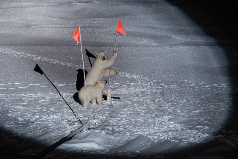 Polar bears in the MOSAiC ice camp ©  Alfred Wegener Institute / Esther Horvath